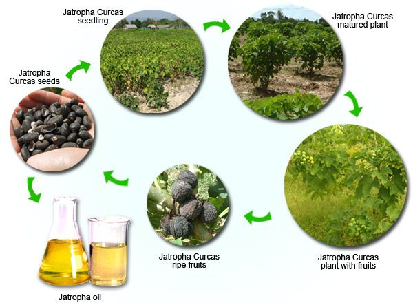 Jatropha Crop Cycle