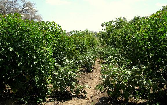 Jatropha Plantation