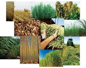 Biofuel Feedstock